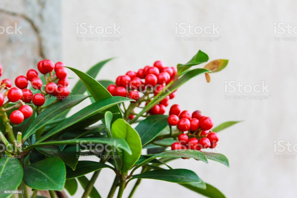 Red berries on green leafy plant stock photo