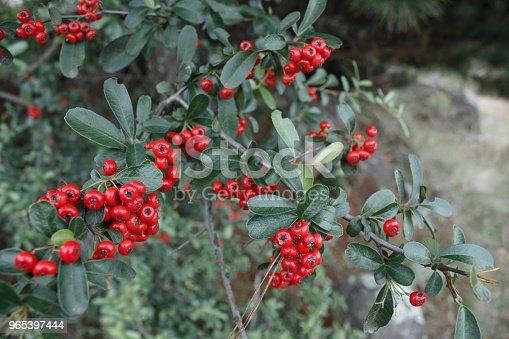 Red Berries On Ornamental Bush At Autumn - Stockowe zdjęcia i więcej obrazów Argentyna