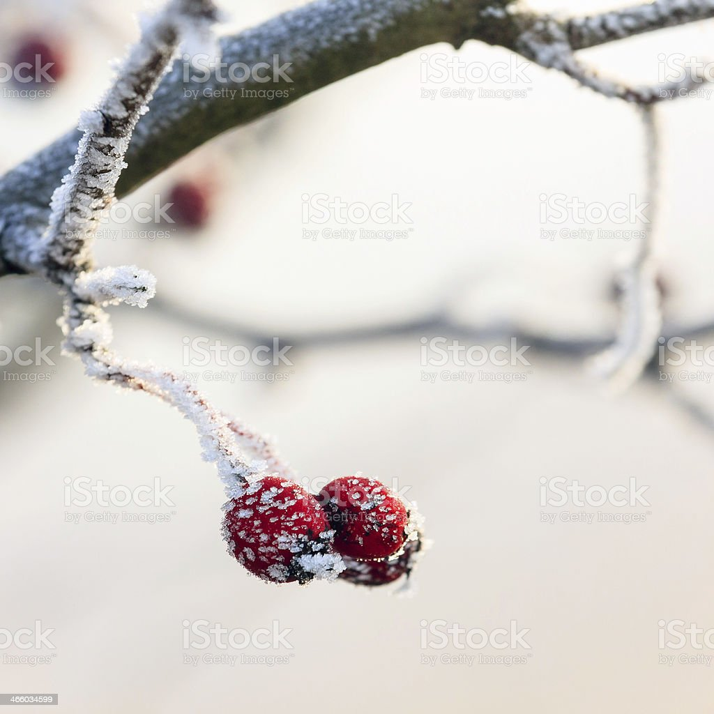 red berries on the frozen branches covered with hoarfrost stock photo