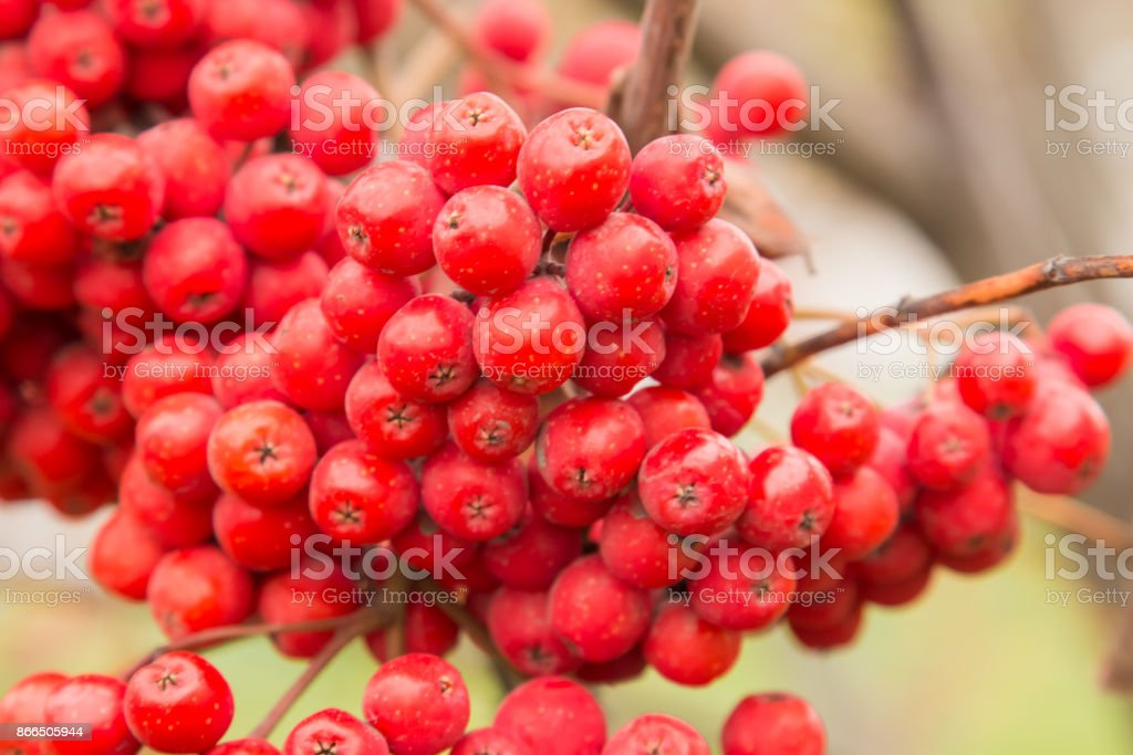 Red Berries Rowan Of Russian Ashberry On A Tree Closeup Stock