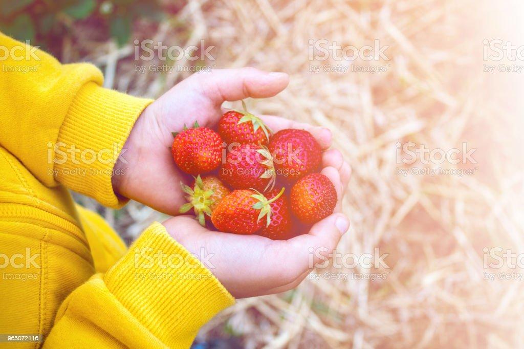 red berries strawberries in kid hands, handful of strawberries close-up zbiór zdjęć royalty-free