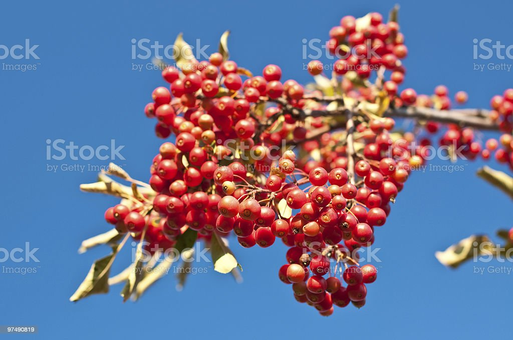 Red Berries with Blue Sky royalty-free stock photo