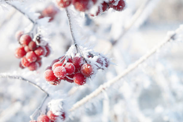 red berries with hoarfrost stock photo