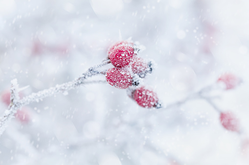 Red berry covered with hoarfrost or rime in snowfall. Winter morning scene of nature. Copy space for text.