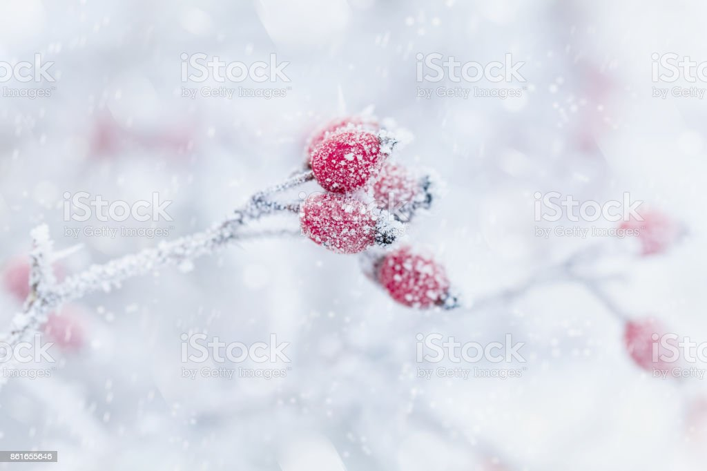 Red berry covered with hoarfrost or rime in snowfall. Winter morning scene of nature. stock photo