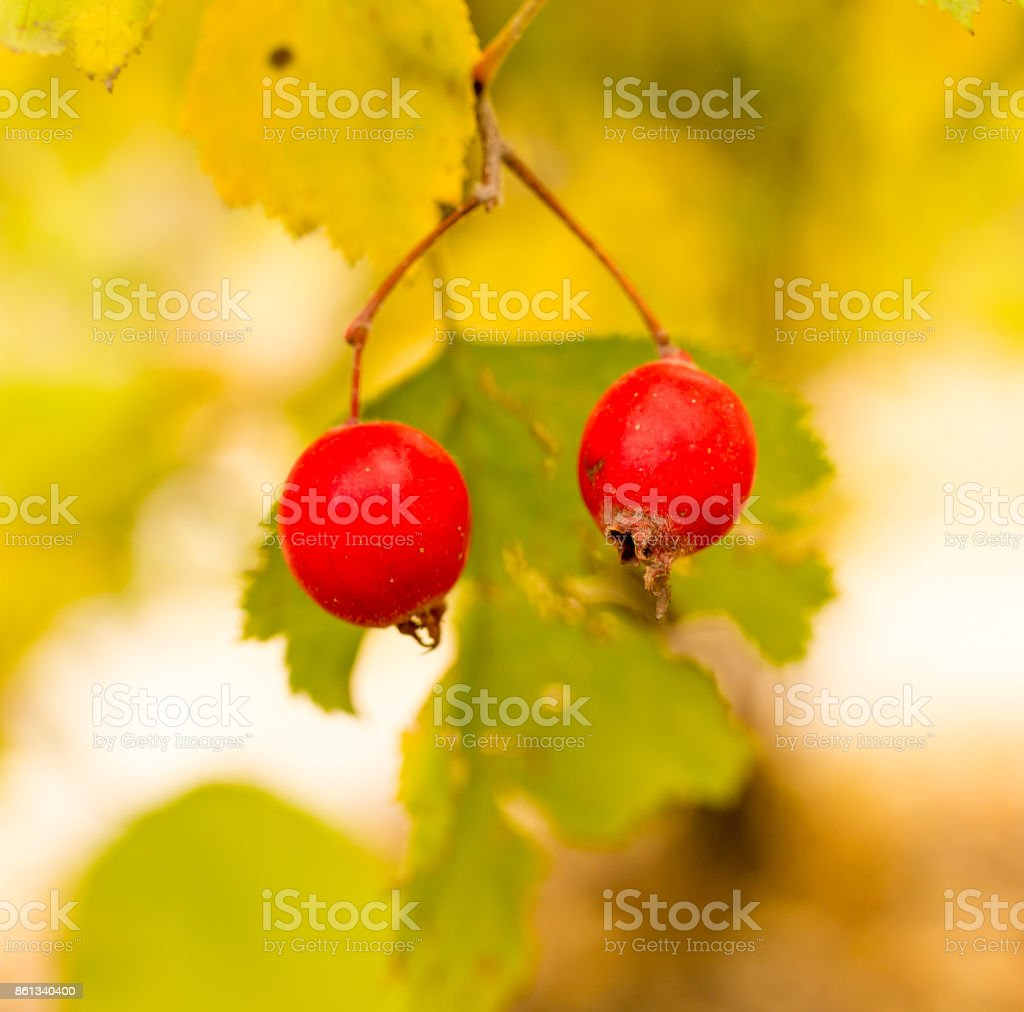 red berry hawthorn on nature stock photo