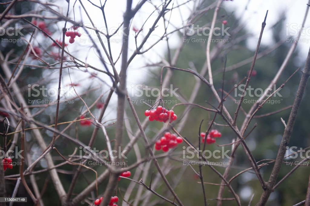 Red berry in Island Lake Conservation Area in Ontario, Canada stock photo