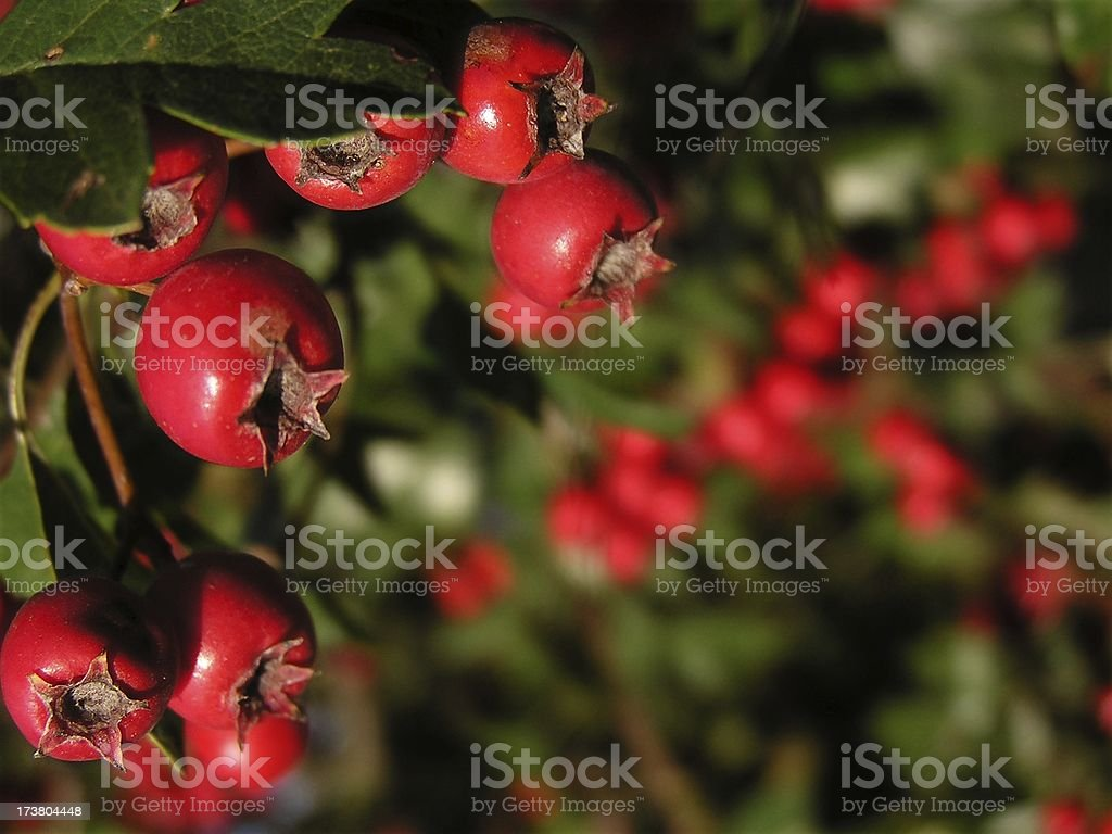 Red berrys royalty-free stock photo
