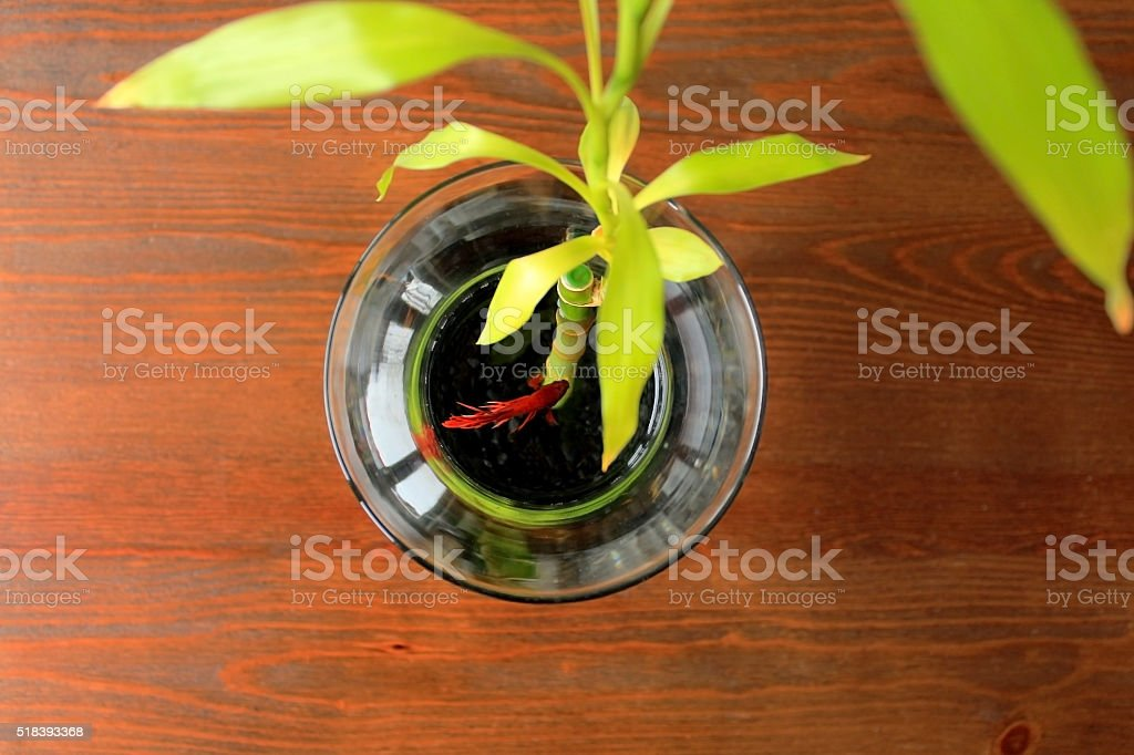 Red Betta Fish In Glass Vase With Bamboo Shoot Stock Photo More