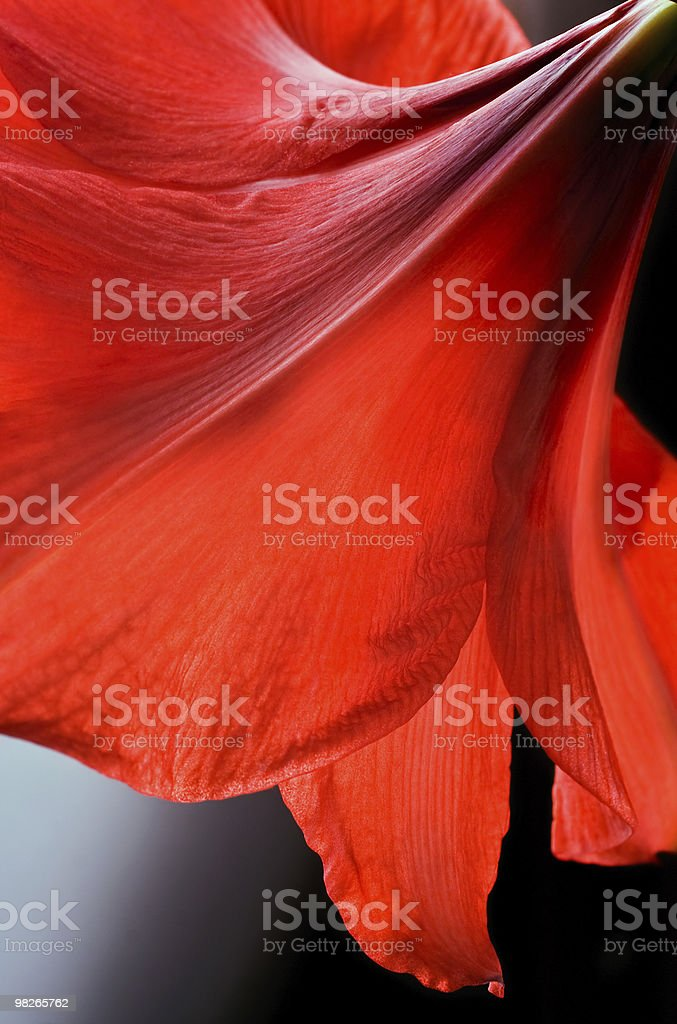 Red big amaryllis royalty-free stock photo
