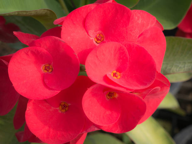 Royalty free crown of thorns plant red thorn bush thorn pictures red big euphorbia milii flowers blooming stock photo mightylinksfo