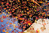 Red big koi fish with autumn red maple leaf floating on pond