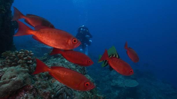 Red bigeye fish and Striped boarfish schooling at deep sea Japan stock photo