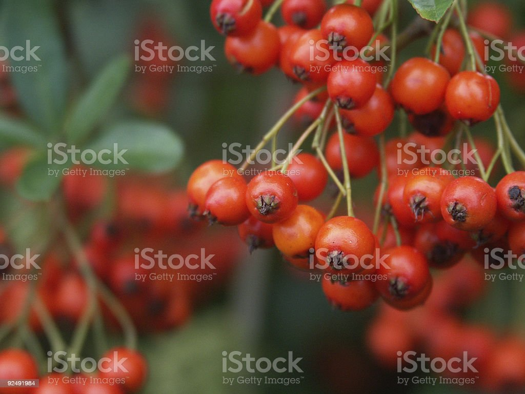 Red Bird Berries royalty-free stock photo