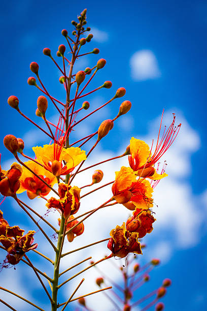 Red Bird of Paradise on blue stock photo