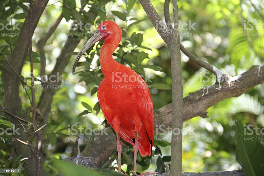 Red bird stock photo