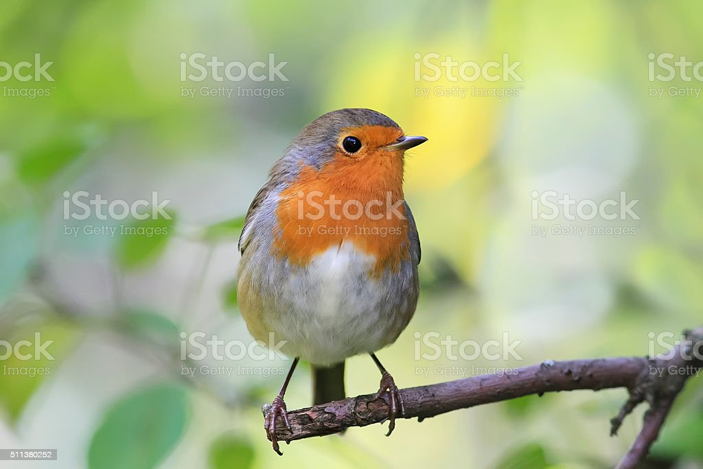 red bird Robin stock photo