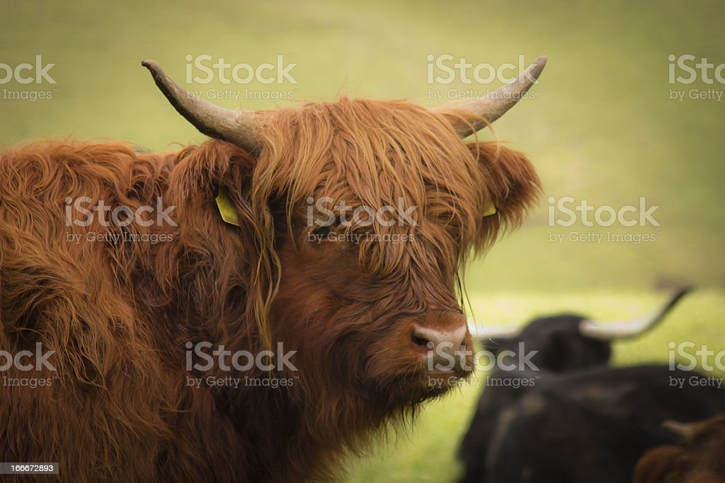 red bison closeup royalty-free stock photo
