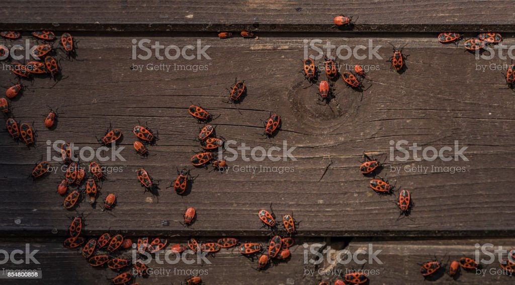 Red black beetle on wooden wall – zdjęcie