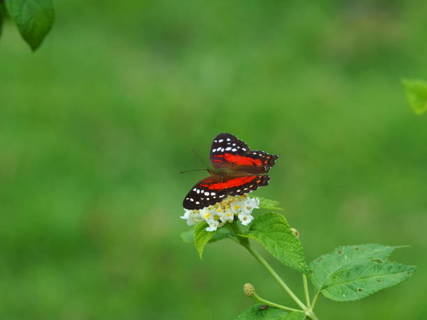 Red black butterfly on top of white flower stock photo