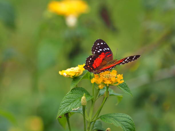 Red black butterfly on top of yellow flower stock photo