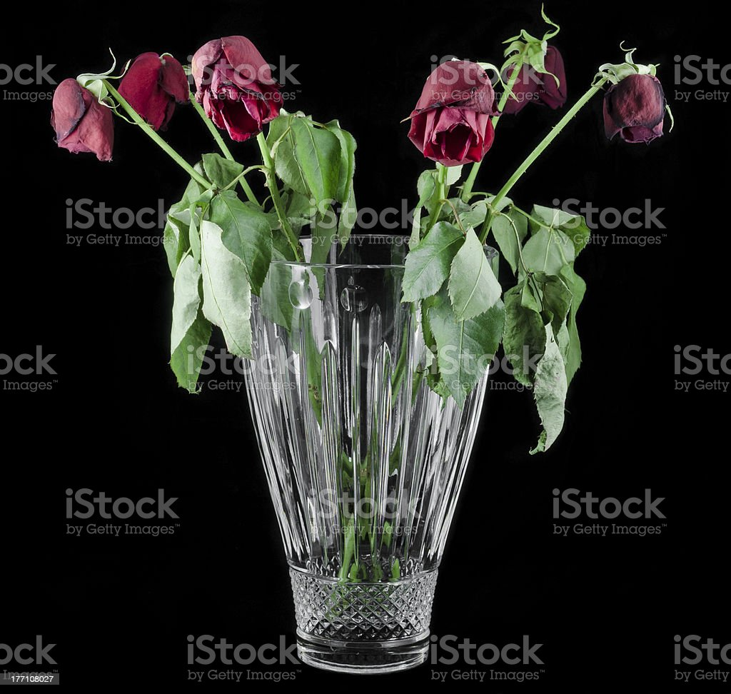 Red black roses stock photo