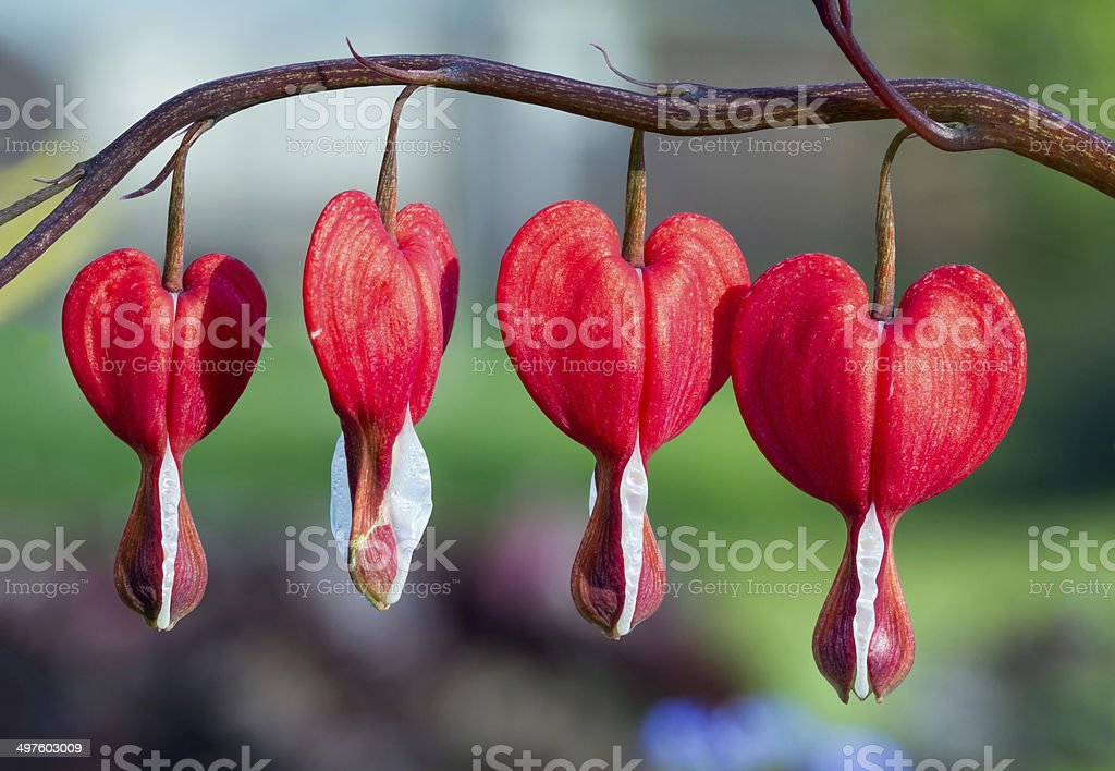 Red Bleeding Heart Flowers in a Row stock photo