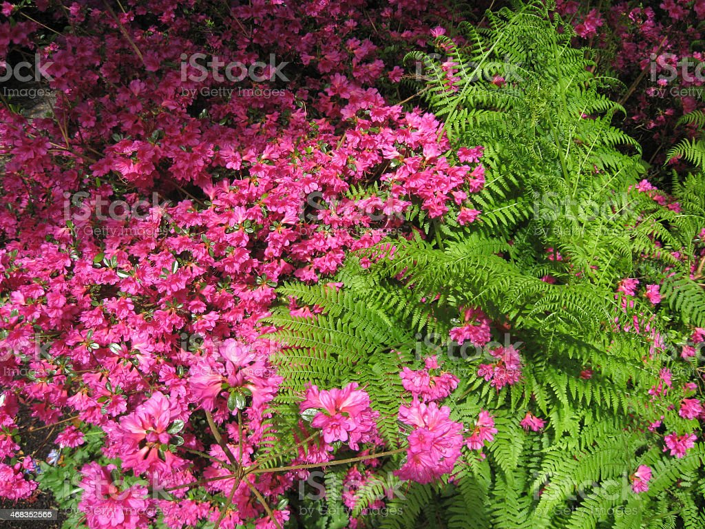 Red Blooming Azalea And Green Fern royalty-free stock photo