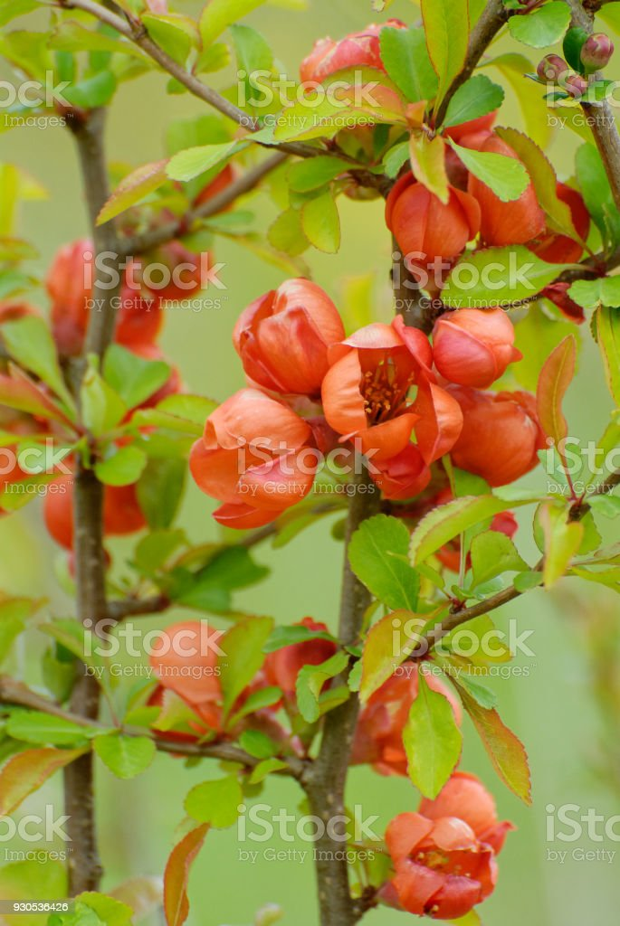 Red blooming Chaenomeles japonica stock photo