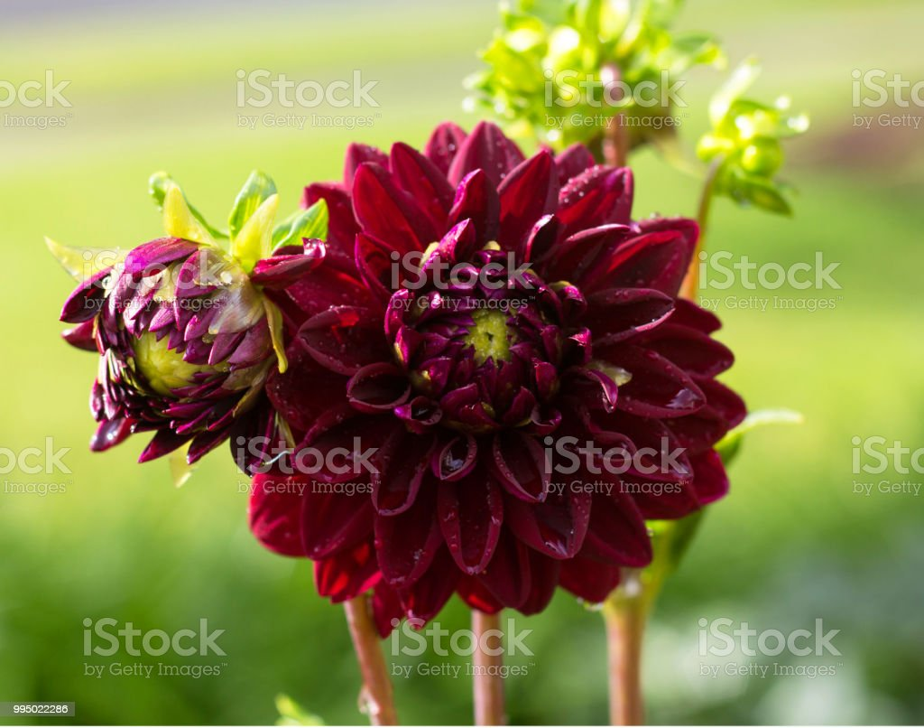 Red blooming dahlia flowers with blurred green background stock red blooming dahlia flowers with blurred green background royalty free stock photo izmirmasajfo