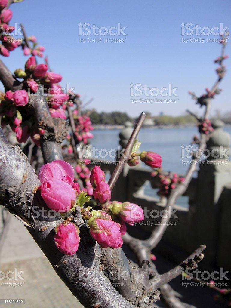 Red blooming flowers at Summer Palace royalty-free stock photo
