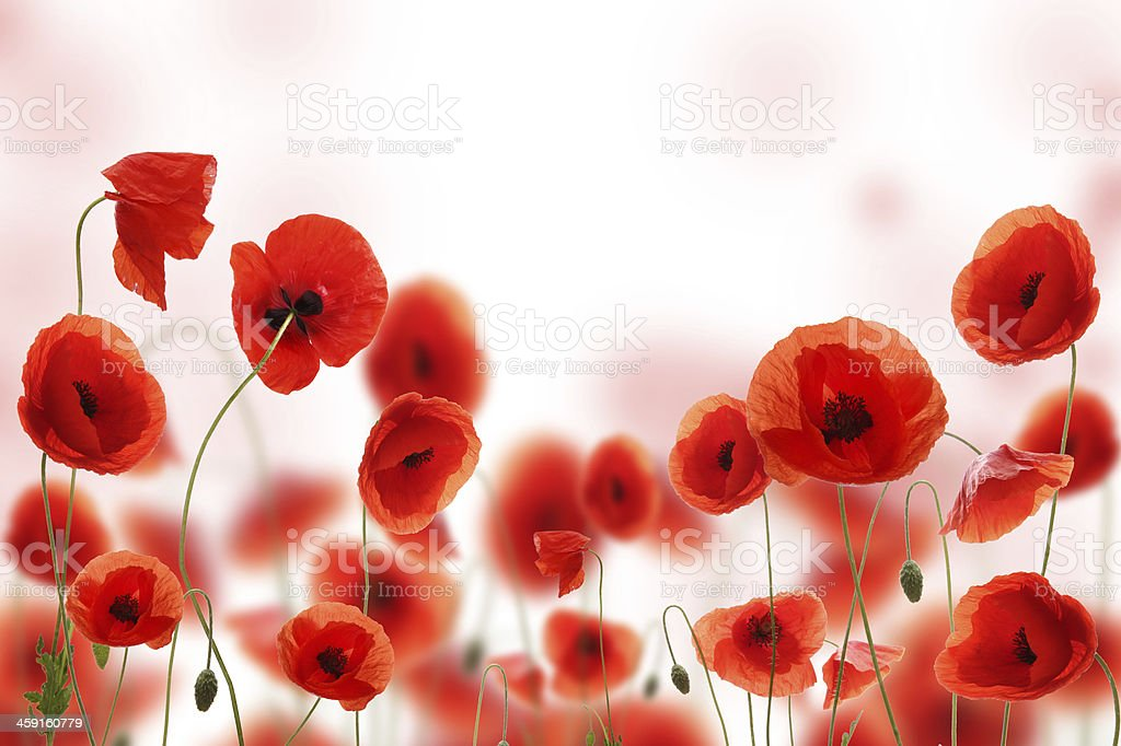 Red blooming poppy flowers against white background stock photo