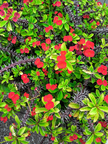 Red blossom ,Euphorbia milli