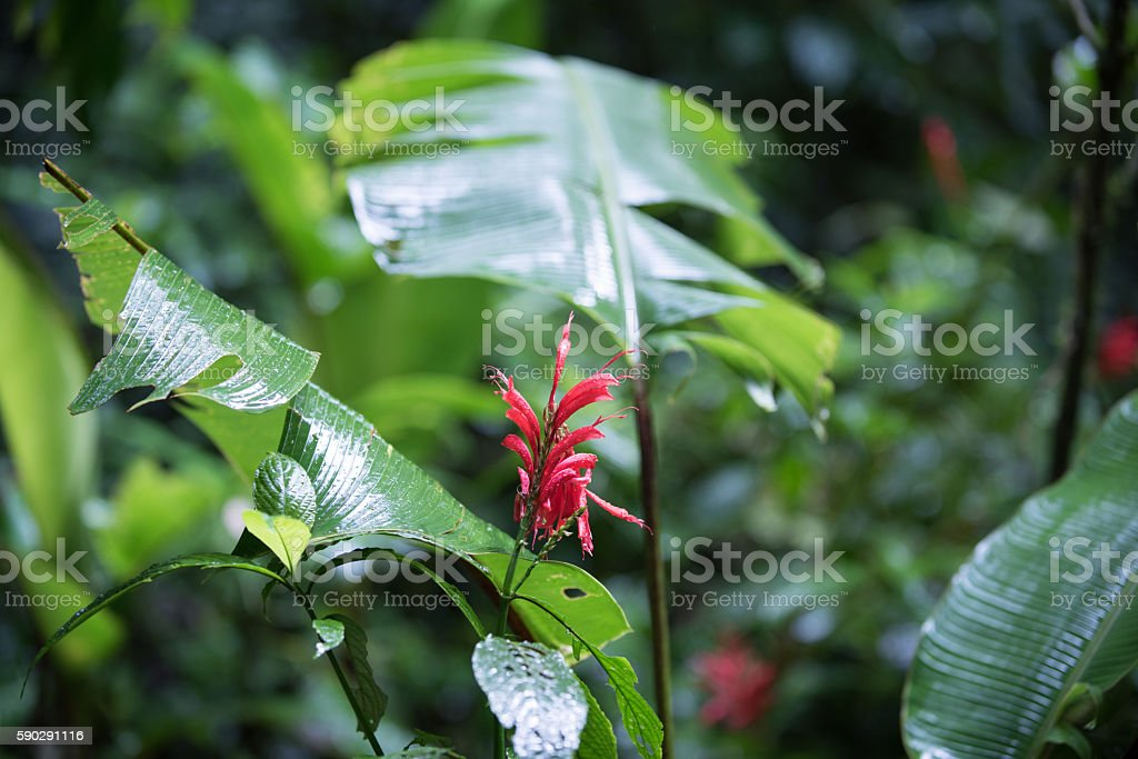Red blossom in the deep cloud forest of Monteverde stock photo