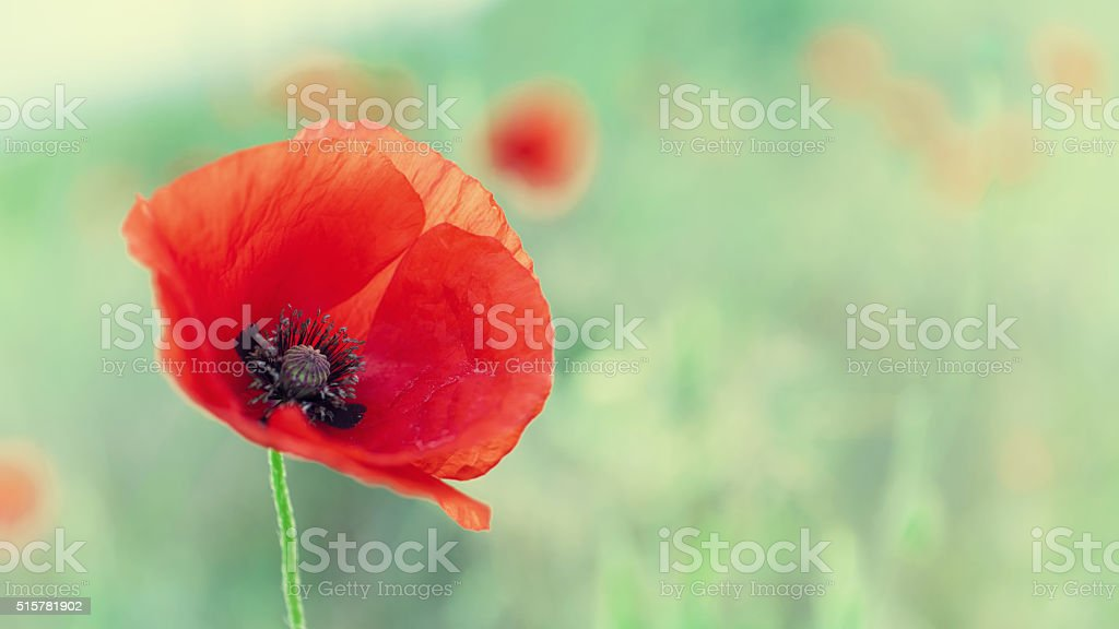 Red blossoming poppy stock photo