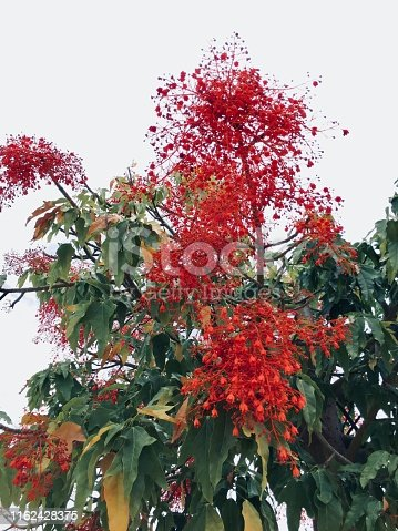 The Illawarra flame tree is famous for the bright red bell-shaped flowers.