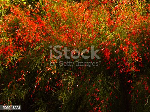 Red blossoms of a Firecracker plant (Russelia equisetiformis)