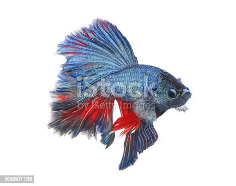 istock red blue Thai fighting fish, betta isolated on white background 906801198