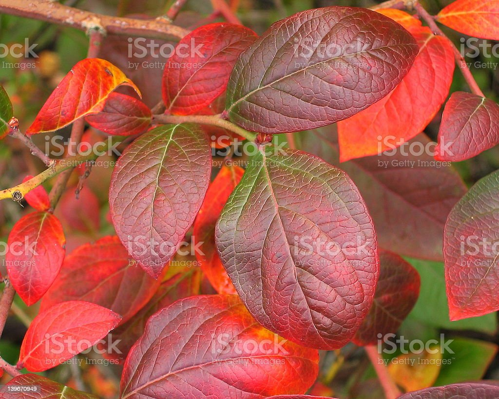Red Blueberry Leaves stock photo