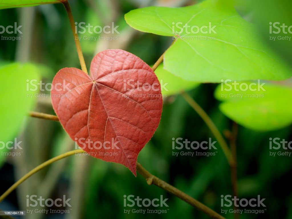 Árbol de Bodhi rojo colgante - foto de stock