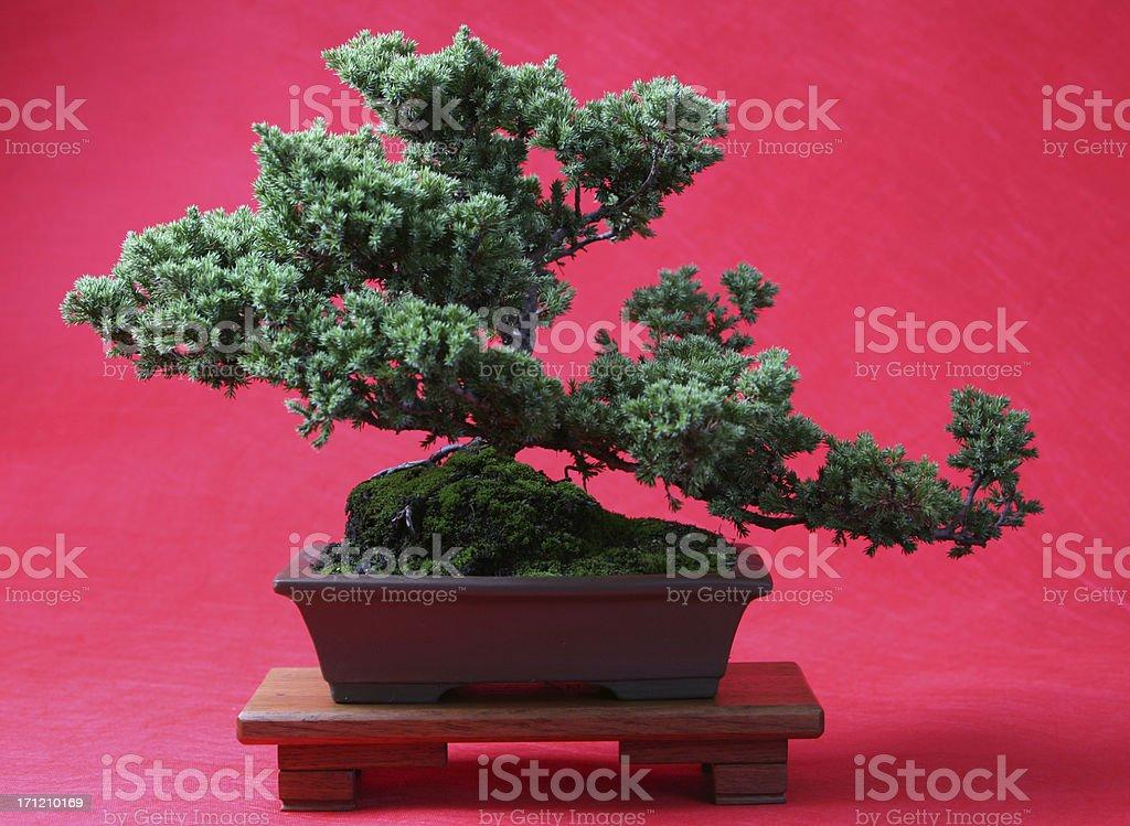 Red Bonsai royalty-free stock photo