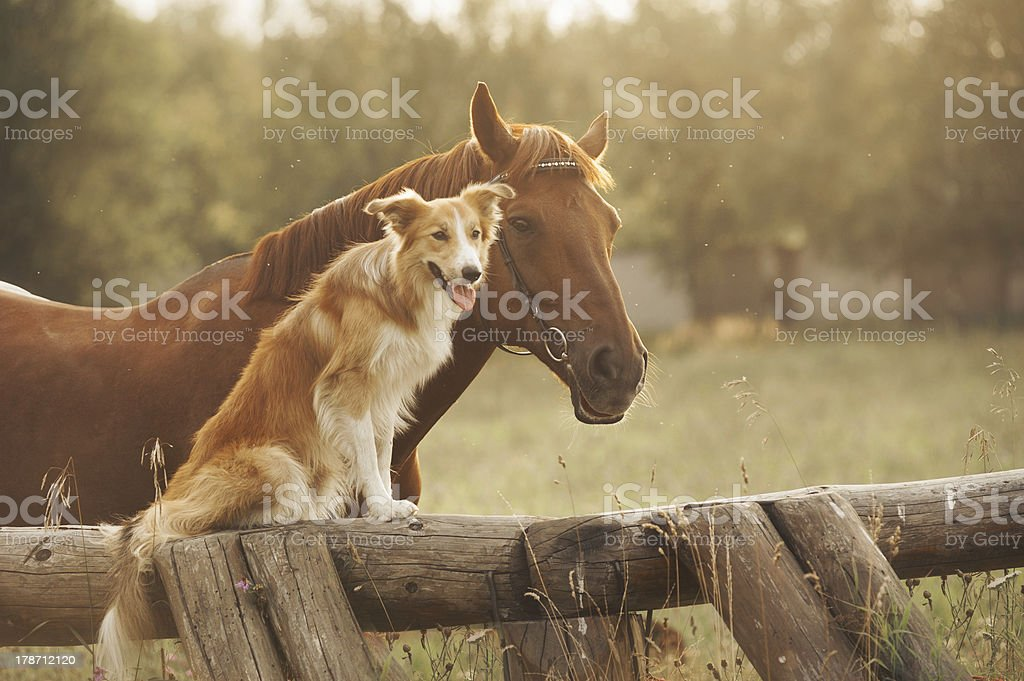 Chien rouge border collie et cheval - Photo