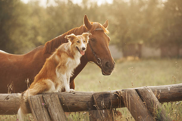 red border collie dog and horse - horse stock pictures, royalty-free photos & images
