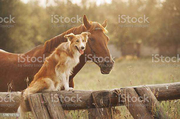 Photo of Red border collie dog and horse