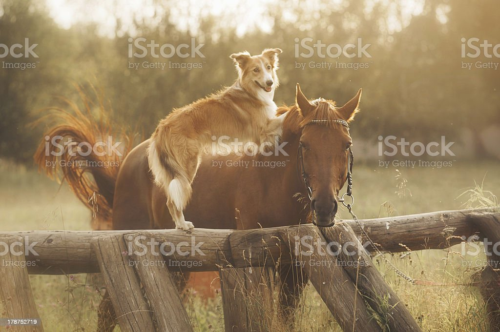 Red border collie dog and horse royalty-free stock photo