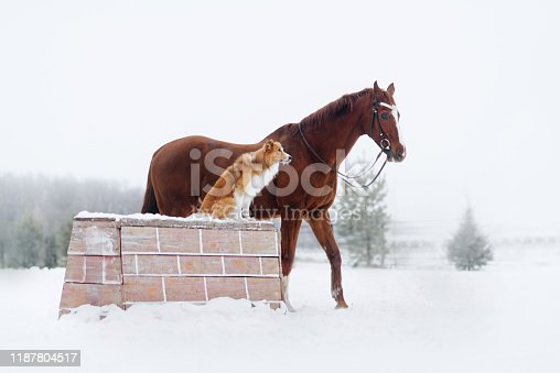 Red border collie dog and horse together in winter