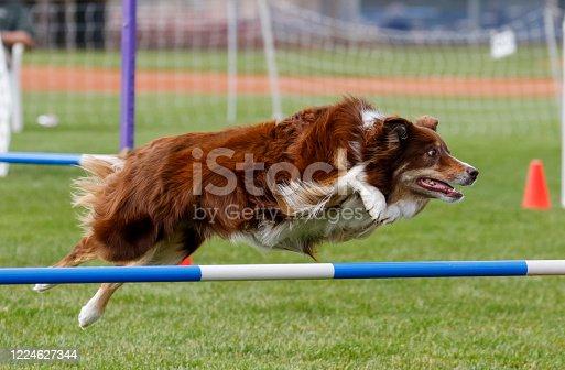 Border collie on an agility course going over a jump