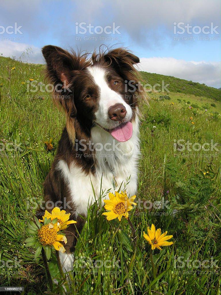 Rote Border-Collie mit Blumen – Foto