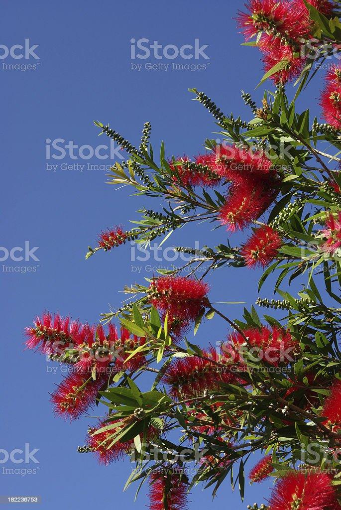 Red Bottlebrush flowers against a blue sky stock photo
