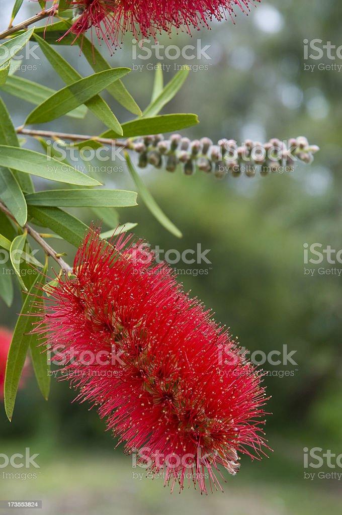 Red Bottlebrush royalty-free stock photo